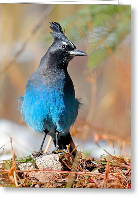 Rocky Mountain Steller's Jay Greeting Card