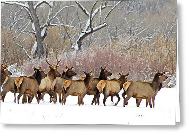 Rocky Mountain Winter Elk Greeting Card