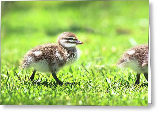 Rogue Duckling, Yanchep National Park Greeting Card