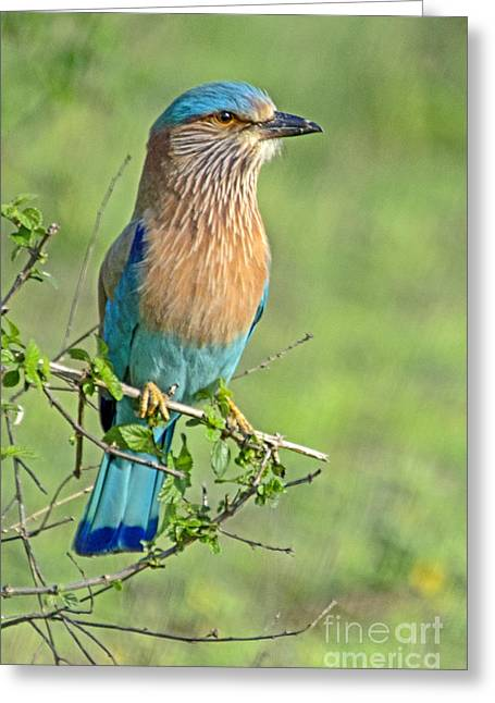 Roller Looking On Greeting Card