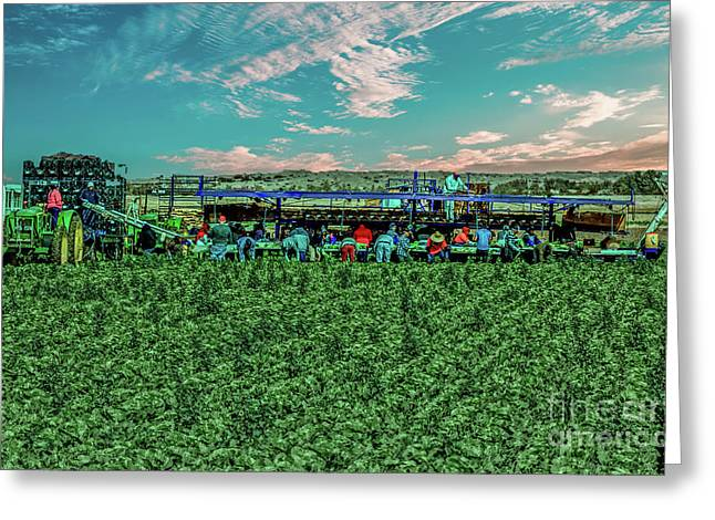 Romaine Lettuce Harvest Greeting Card by Robert Bales