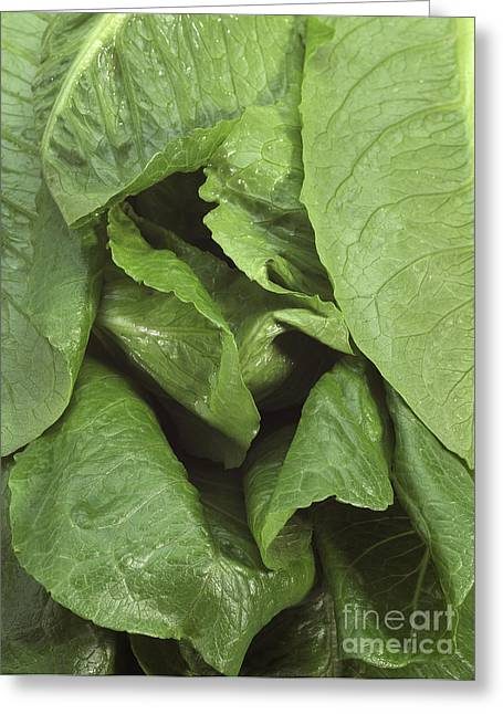 Romaine Lettuce Lactuca Sativa Greeting Card by Gerard Lacz