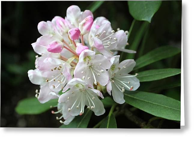 Romantic Rhododendron Greeting Card by Lynne Guimond Sabean