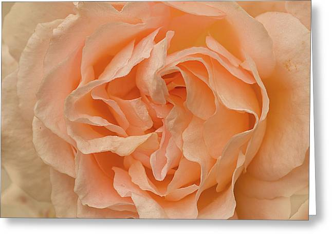Romantic Rose Greeting Card by Jacqi Elmslie