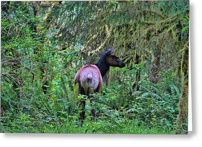Roosevelt Elk In The Hoh Rainforest Greeting Card by Dan Sproul