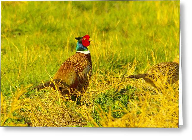 Rooster Pheasant With Girlfriend Greeting Card by Jeff Swan