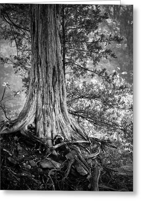 Rooted In Black And White Greeting Card by James Barber