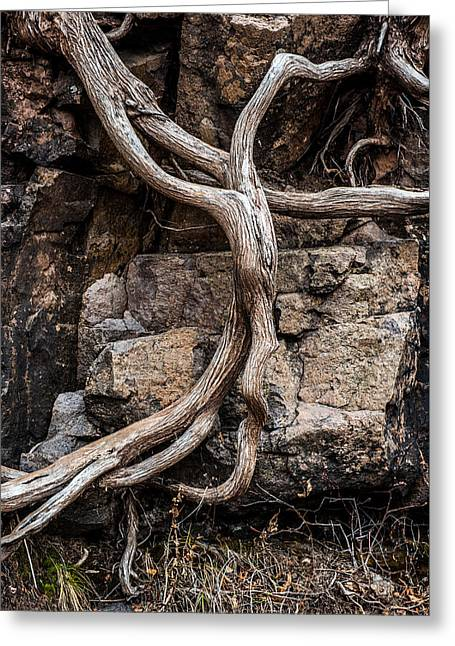 Roots Greeting Card by Paul Freidlund