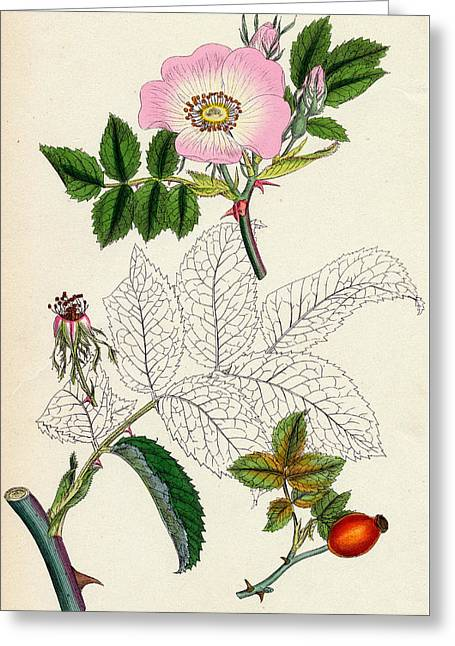 Rosa Canina Common Dog Rose Greeting Card by Unknown