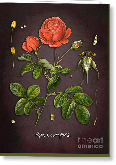 Rosa Centifolia Greeting Card