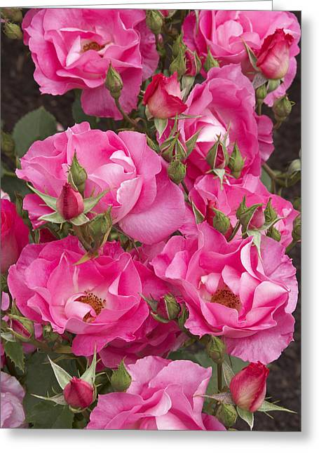 Rosa 'dancing Pink' Greeting Card by Geoff Bryant