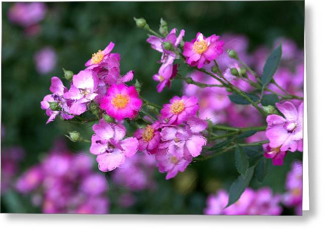 Greeting Card featuring the photograph rosa 'Daydream' 1762 by Brian Gryphon