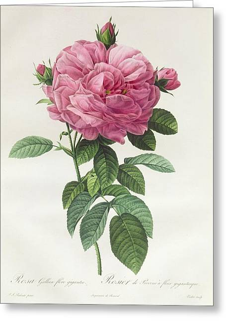 Roses Drawings Greeting Cards - Rosa Gallica Flore Giganteo Greeting Card by Pierre Joseph Redoute