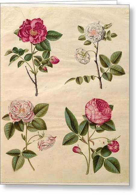 Rosa Gallica Greeting Card