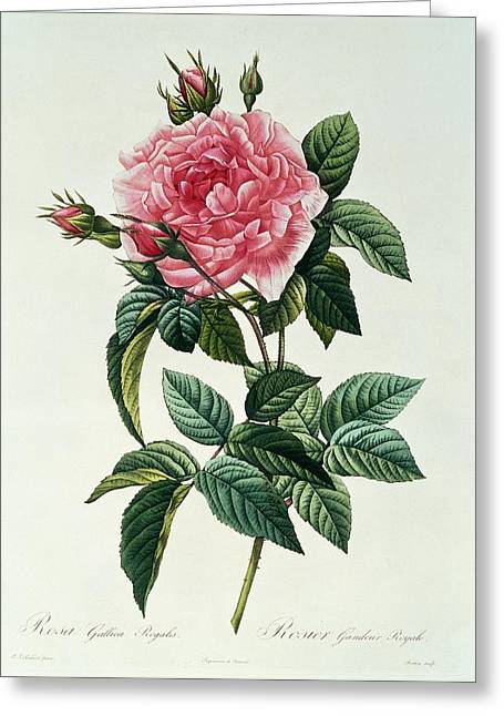 Roses Drawings Greeting Cards - Rosa Gallica Regalis Greeting Card by Pierre Joseph Redoute