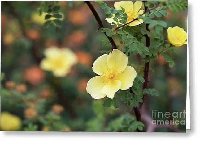 Rosa Helen Knight Greeting Card by Tim Gainey