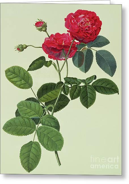Rosa Holoferica Multiplex Greeting Card