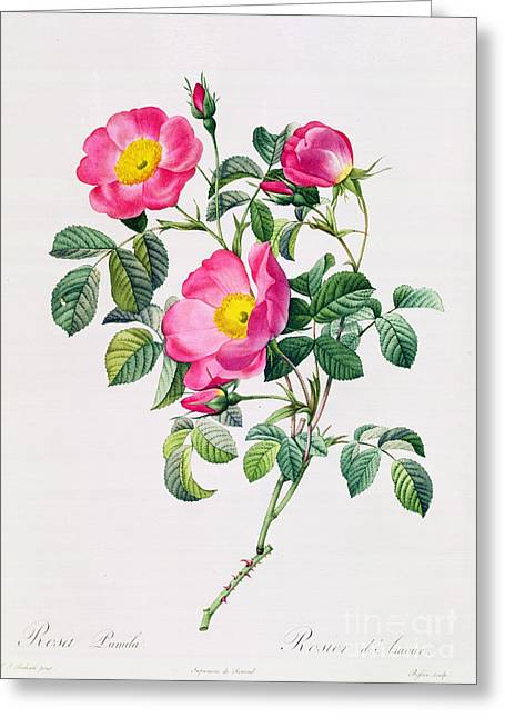 Rose Garden Greeting Cards - Rosa Lumila Greeting Card by Pierre Joseph Redoute
