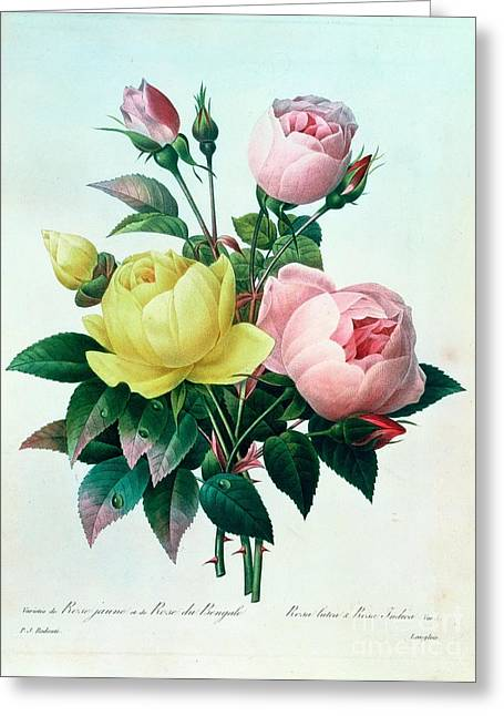 Pink Flower Greeting Cards - Rosa Lutea and Rosa Indica Greeting Card by Pierre Joseph Redoute