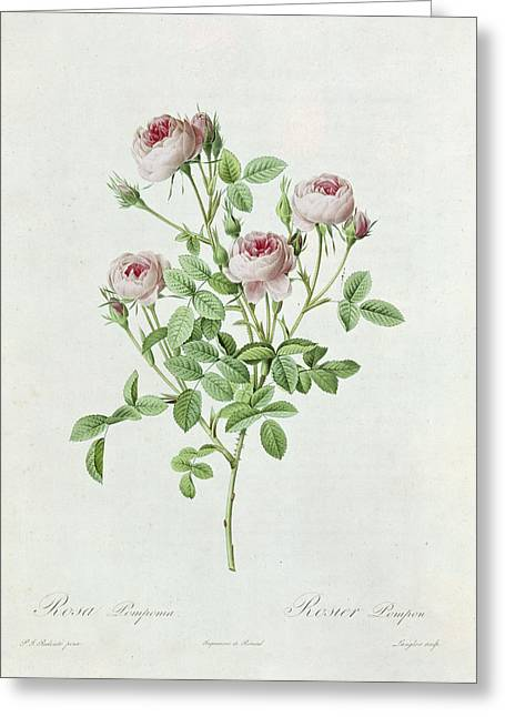 Rosa Pomponia Greeting Card by Henri Joseph Redoute