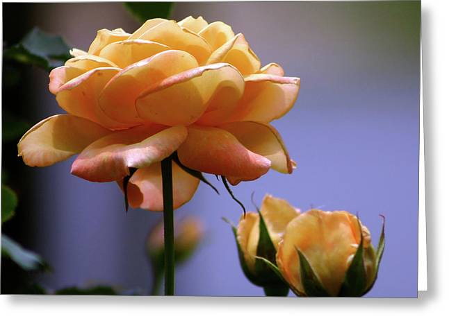 Rose 1156 H_2 Greeting Card