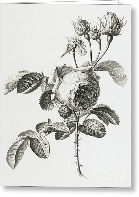 Rose A Cent Feuilles Greeting Card