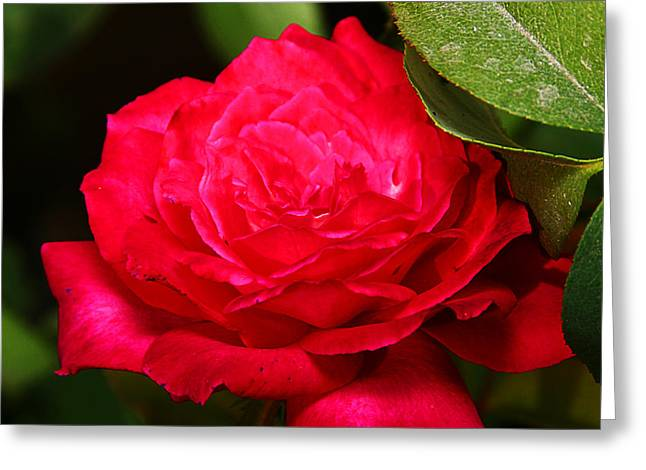 Rose Greeting Card by Anthony Jones