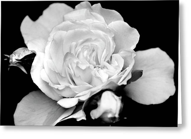 Greeting Card featuring the photograph Rose Black And White by Christina Rollo