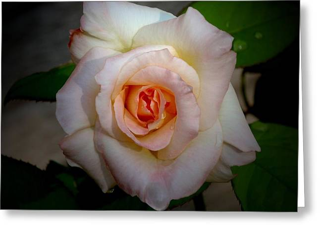 Rose Blushing After Rain Greeting Card by B Nelson