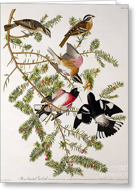 Engraving Greeting Cards - Rose breasted Grosbeak Greeting Card by John James Audubon