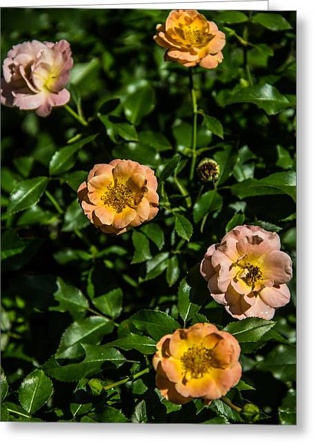 Rose Bush Greeting Card by Brian Manfra