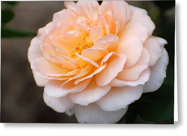 Greeting Card featuring the photograph Rose by Douglas Pike