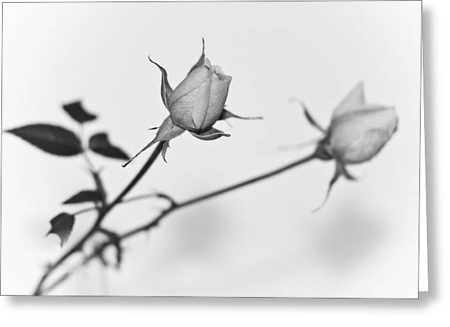 Rose Duo Greeting Card by Ryan Kelly