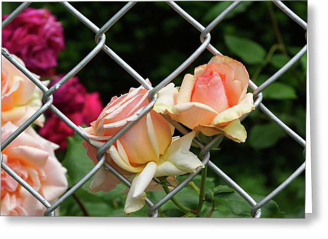 Rose Fence Greeting Card