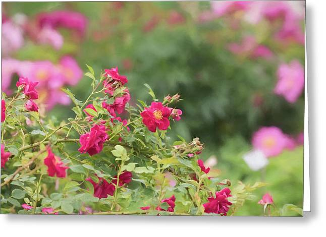 Greeting Card featuring the photograph Rose Garden Promise by Kim Hojnacki