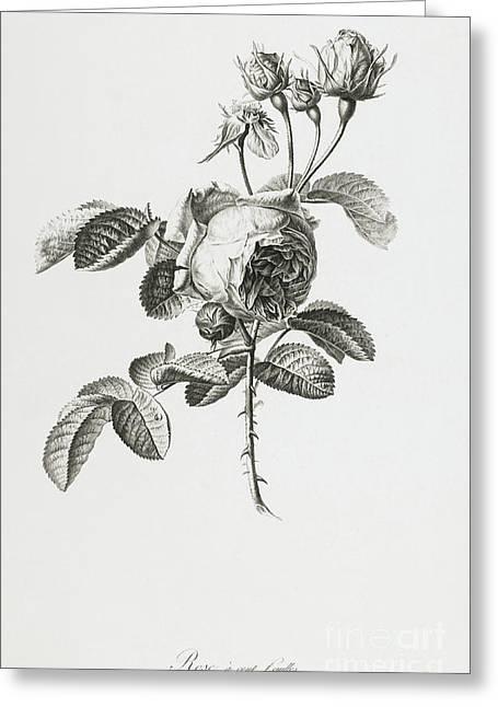 Rose Greeting Card by Gerard van Spaendonck