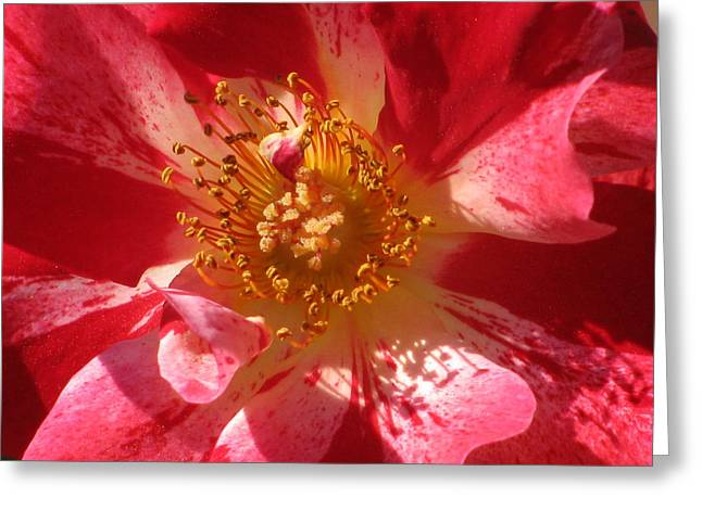 Rose In Pink Greeting Card by Alfred Ng