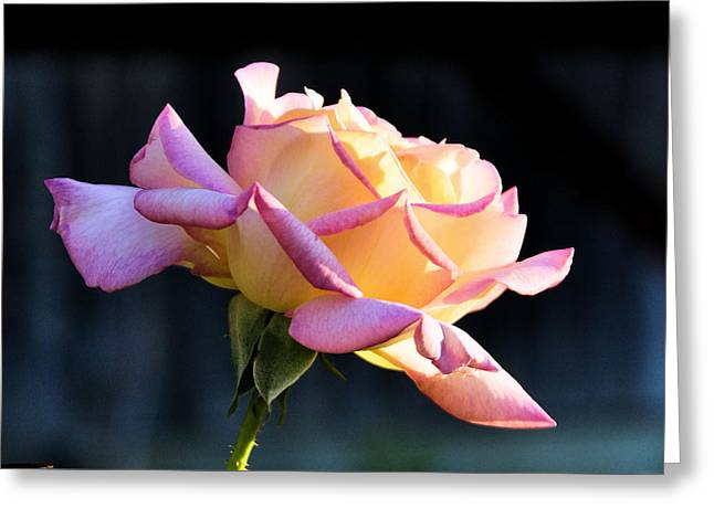Rose In Sunshine Greeting Card