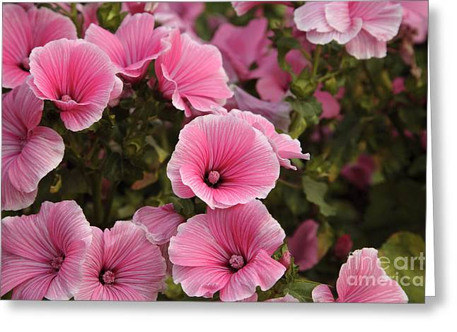 Rose Mallow Flowers Greeting Card by Erin Paul Donovan