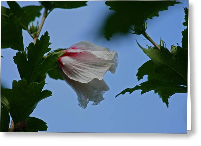Rose Of Sharon After The Rain Greeting Card by Martin Morehead