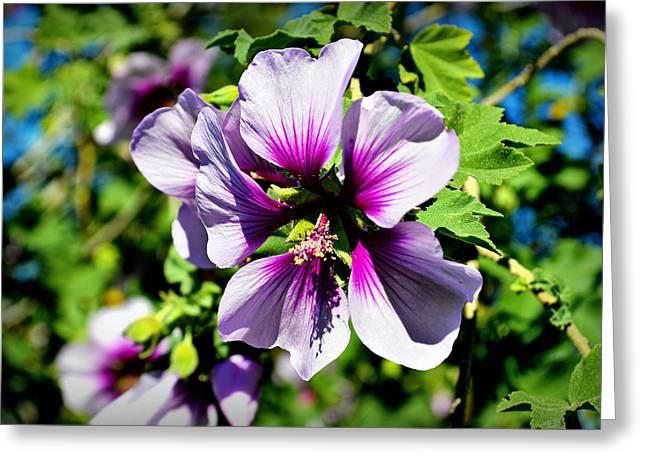 Rose Of Sharon - Blue Hibiscus Greeting Card