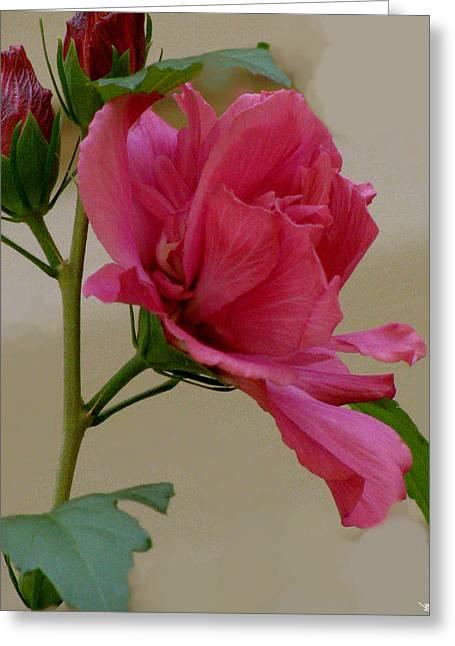 Rose Of Sharon Greeting Card by Debra     Vatalaro