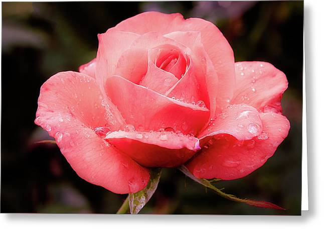 Greeting Card featuring the photograph Rose Petals And Drops by Julie Palencia