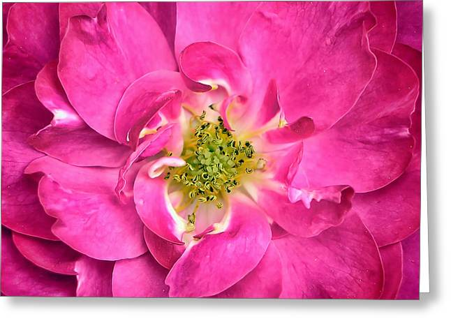 Rose Petals And Stamens - Close-up Of A Fuschia Colored Flower - Macro Photography Greeting Card by Chantal PhotoPix
