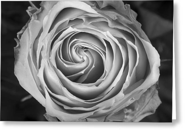 Rose Spiral Black And White Greeting Card by James BO  Insogna