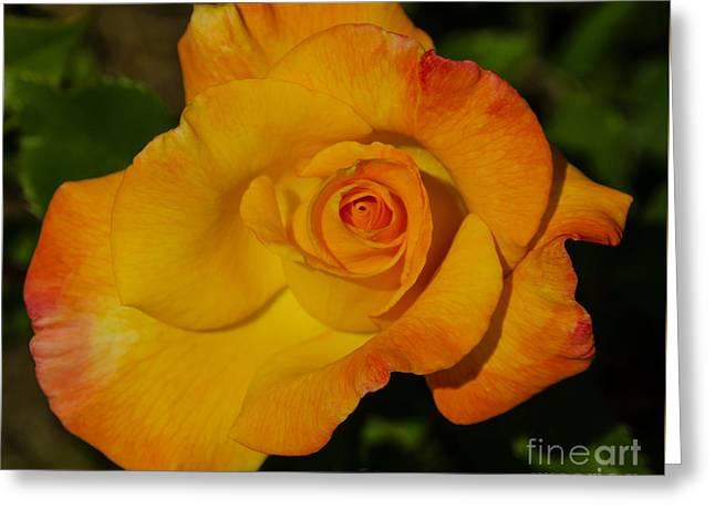 Rose Orange, Yellow, And Red Greeting Card