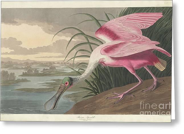 Roseate Spoonbill, 1836  Greeting Card
