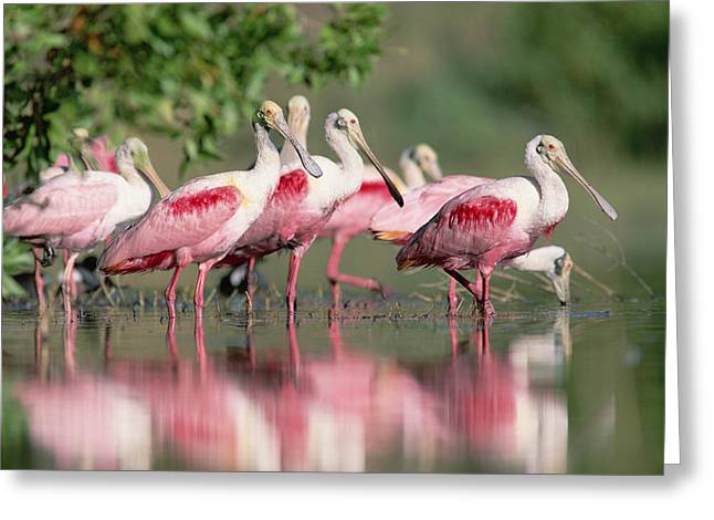 Roseate Spoonbill Flock Wading In Pond Greeting Card