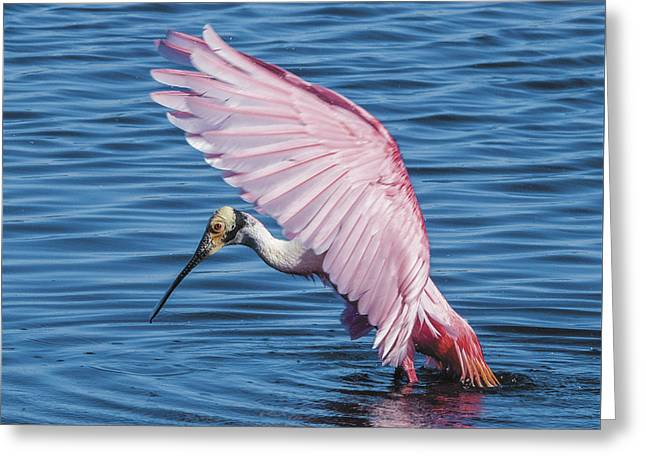 Roseate Spoonbill Profile With Wings Over Her Head Greeting Card