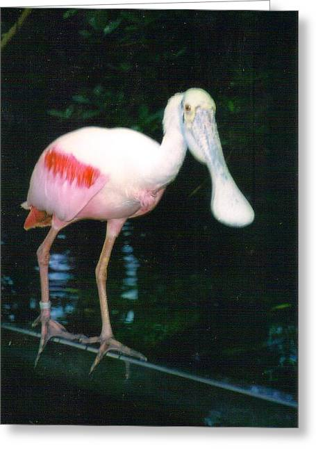 Roseate Spoonbill  Greeting Card by Warren Thompson